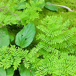 Royal Ferns, Osmunda regalis, in a swampy area of a forest in Gloucester, Massachusetts.
