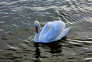 Łabędzie na jeziorze Święcajty