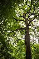 oak tree in the Wahner Heath, Troisdorf, North Rhine-Westphalia, Germany.<br /> <br /> Eiche in der Wahner Heide, Troisdorf, Nordrhein-Westfalen, Deutschland.