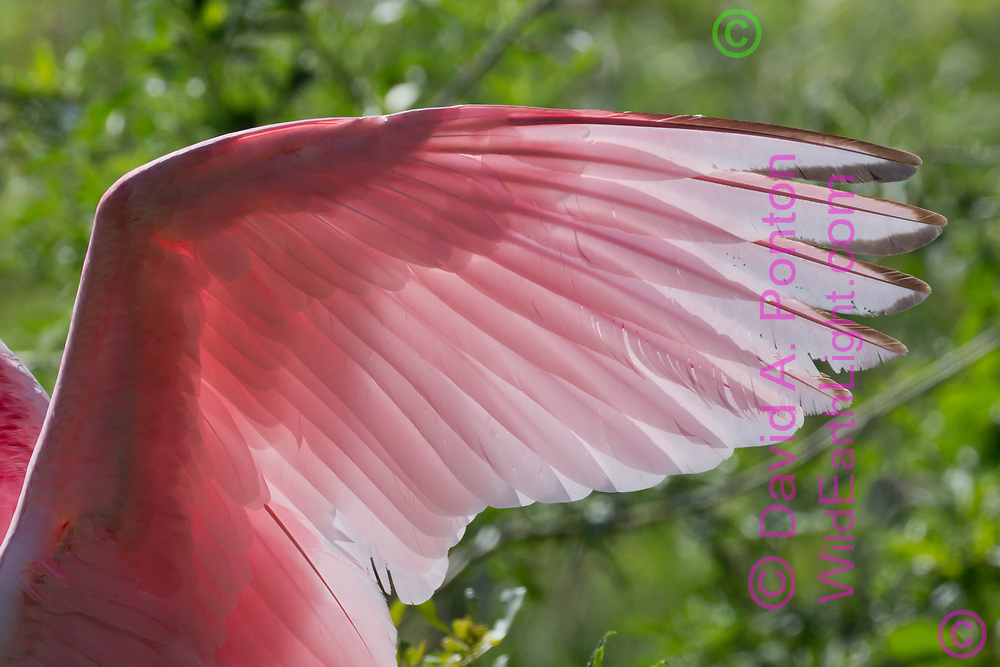 Wing feathers of roseate spoonbill show vivid pink color and translucence, ©  David A. Ponton