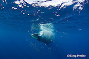 Bryde's whale, Balaenoptera brydei or Balaenoptera edeni, feeding on baitball of sardines, Sardinops sagax, off Baja California, Mexico ( Eastern Pacific Ocean ) #4 in sequence of 7