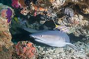 whitetip reef shark, Triaenodon obesus, resting under ledge of reef, Gato Island, off Malapascua, Cebu, Philippines  ( Visayan Sea, Western Pacific Ocean )