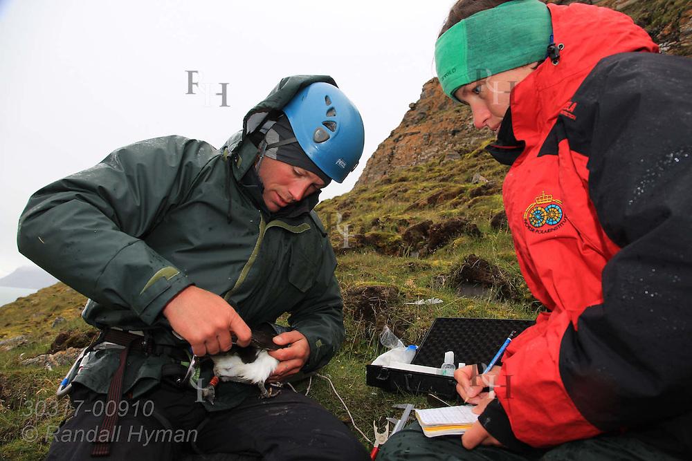 Atop sheer cliffs of Ossian Sars Nature Reserve, field techs Delphin Ruche and Saga Svavarsdottir measure Brünnich's guillemot, aka thick-billed murre (Uria lomvia), snagged from ledges below with nylon noose; Kongsfjorden, Svalbard.