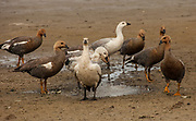 Upland geese (white goose = male) , Bluff Cove, Falkland Islands.