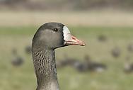 White-fronted Goose - Anser albifrons - European White-fronted Goose - Anser albifrons albifrons