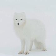 Arctic Fox (Alopex lagopus)Winter fur coat phase, standing in snow. Near Churchill, Manitoba. Canada. Winter.