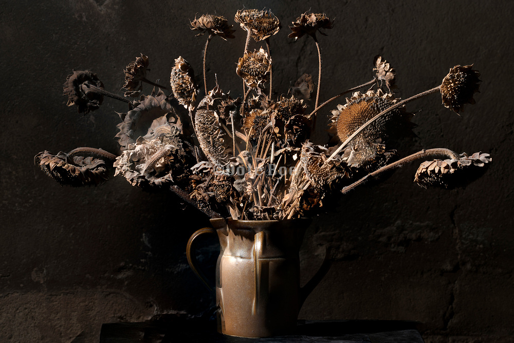 dried brown colored sunflowers still life