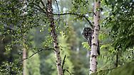 JÄMTLAND 2100622<br /> Lappugglan spanar från sin gren under en naturtur i skogarna utanför Östersund.<br /> Foto: Per Danielsson/Projekt.P