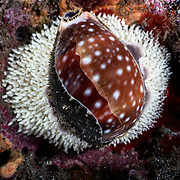 This is a Pacific deer cowry (Lyncina vitellus) with eggs.