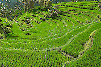 Indonesie, Bali, Rizieres dans le centre vers Sidemen // Indonesia, Bali, Rice field around Sidemen., Centre island