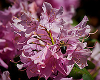 Rhododendron. Image taken with a Nikon D850 camera and 200-500 mm f/5.6 VR lens.
