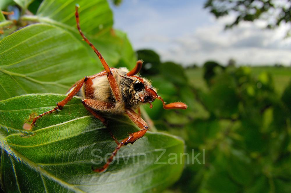 Der Feldmaikäfer (Melolontha melolontha), auch als Gemeiner Maikäfer bekannt, ist eine Art aus der Familie der Blatthornkäfer (Scarabaeidae)   The cockchafer (or may bug, as it is colloquially called, or sometimes billy witch or spang beetle, particularly in East Anglia) is a European beetle of the genus Melolontha, in the family Scarabaeidae.
