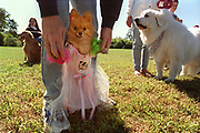 9/18/99  Photo by Mara Lavitt<br /> Winnie, a toy Pomeranian, gets a little support from owner Cindy Hughes of Oxford in the Most Glamorous contest at the Dog Days of Oxford dog fair held at Quaker Farms School in Oxford.