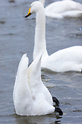 Whooper Swan, Cygnus cygnus, diving and dabbling  and upending while feeding, at Welney Wetland Centre, Norfolk, UK