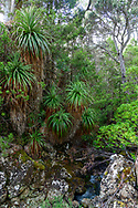 Australia; Australian,  Tasmania; Central Highlands; Mount Field National Park; Lake Dobson, Pandani Grove
