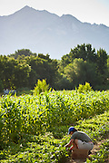 A worker harvests peas below the Wasatch Mountains at Bell Organic Gardens in Sandy Utah.
