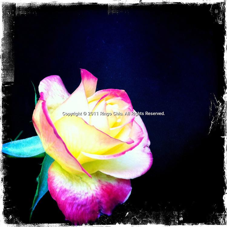 A rose..(Photo by Ringo Chiu/PHOTOFORMULA.com).