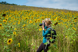 © Licensed to London News Pictures. 22/08/2021. CHORLEYWOOD, UK.  A member of a local walking group photographs sunflowers currently in bloom in a field in Chorleywood, Hertfordshire.  As well as being attractive to pollinators, the sunflower seeds will provide food for birds during the autumn.  Photo credit: Stephen Chung/LNP