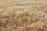 Barley crop.<br /> <br /> For larger JPEGs and TIFF versions contact EFFECTIVE WORKING IMAGE via our contact page at : www.photography4business.com