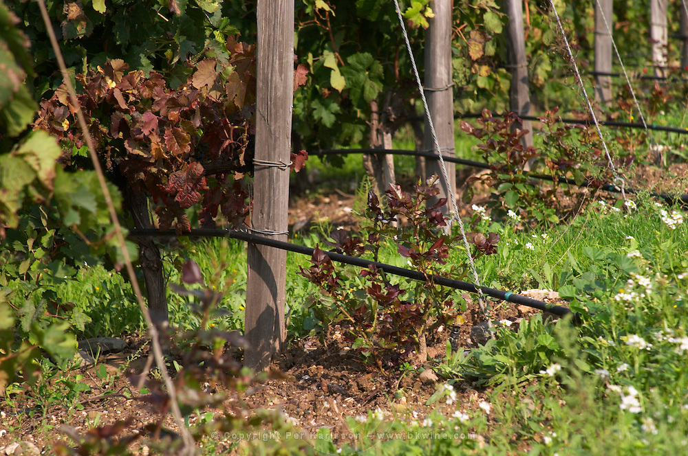 Mas La Chevaliere. near Beziers. Languedoc. France. Europe. Drip irrigation watering the vines.