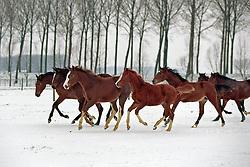 Veulens in de sneeuw<br /> Photo © Dirk Caremans