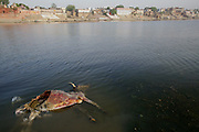 A decomposing cow floats in the Ganges River across from the cremation ghats in Varanasi, India. Human remains also wash up on the sandy shore on this side of the Ganges. Varanasi, India.
