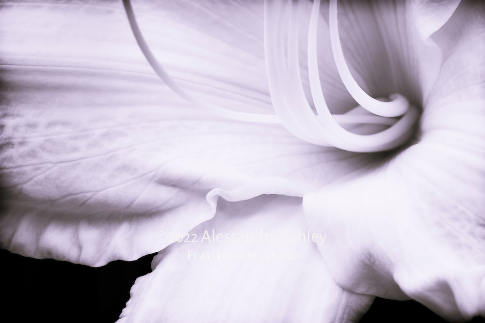 Light colored daylily in high contrast black and white with lilac color tone.