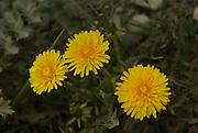 Yellow Euroasia wild flower