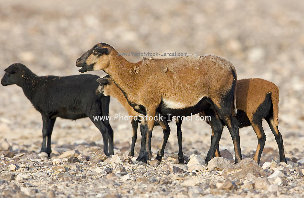 Cameroon sheep. The Cameroon or Cameroon Dwarf is a Cameroonian breed of domestic sheep. It belongs to the West African Dwarf group of breeds. The Cameroon Dwarf is a hardy sheep. It is normally brown with a black belly and black markings to the head and legs. Has a hair coat, and in winter grows a fine under-coat; it sheds this in springtime. Ewes have high prolificacy and mature early; they are capable of producing three crops of lambs every two years