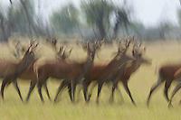 Red deer stags Cervus elaphus on the move. Oostvaardersplassen, Netherlands. June. Mission: Oostervaardersplassen, Netherlands, June 2009.