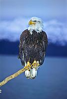 Bald Eagle (Haliaeetus leucocephalus).  A mature eagle with blood on his face after feeding on a fish.  Near Homer, Alaska.
