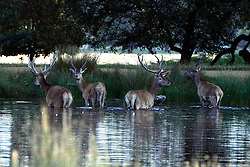 © Licensed to London News Pictures. 18/08/2012. Richmond, UK Deer in Richmond Park cool off in a lake in the early morning heat on Saturday 18 August 2012 as the UK's capital city prepares itself for temperatures of over 30 degrees celsius in what is expected to be one of the hottest August weekends on record. Photo credit : Stephen Simpson/LNP