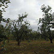 Apple trees planted by Russia's greatest novelist, Lev Tolstoy,  at his estate in Yasnaya Polyana, Russia.