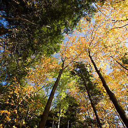 Hemlocks, oaks, and beech trees in a forest near the Saco River in Hollis, Maine.  Fall.