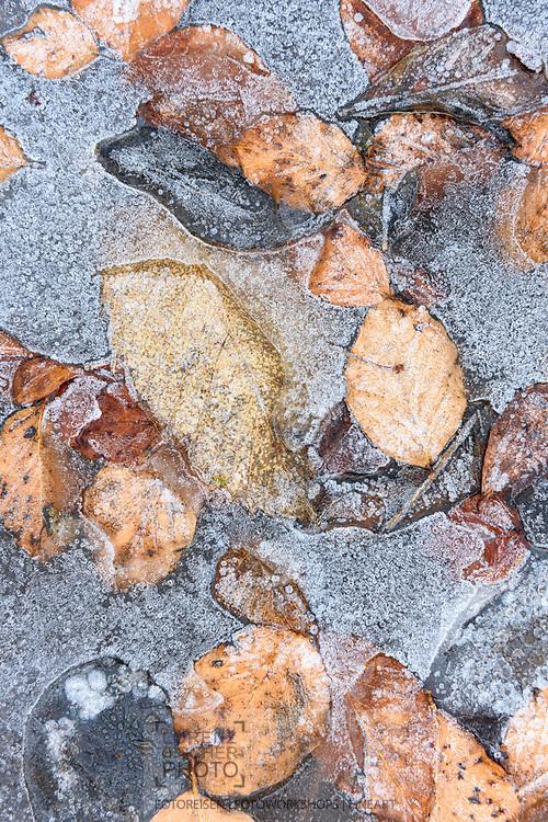 Blätter der Buche auf einer gefrorenen Wasserlache im Dezember, Verzascatal, Tessin, Schweiz<br /> <br /> Leafes of a beech tree in a frozen pool in December, Valley of Verzasca, Ticino, Switzerland