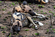 African wild dog (Lycano pictus) from Kruger NP, South Africa.