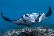 Giant oceanic manta ray (Manta birostris) - Bali - Indonesia