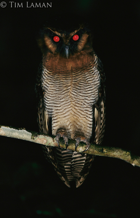 Brown Wood Owl (Strix leptogrammica) photographed at night in the rain forest..Danum Valley Conservation Area, Borneo Island.