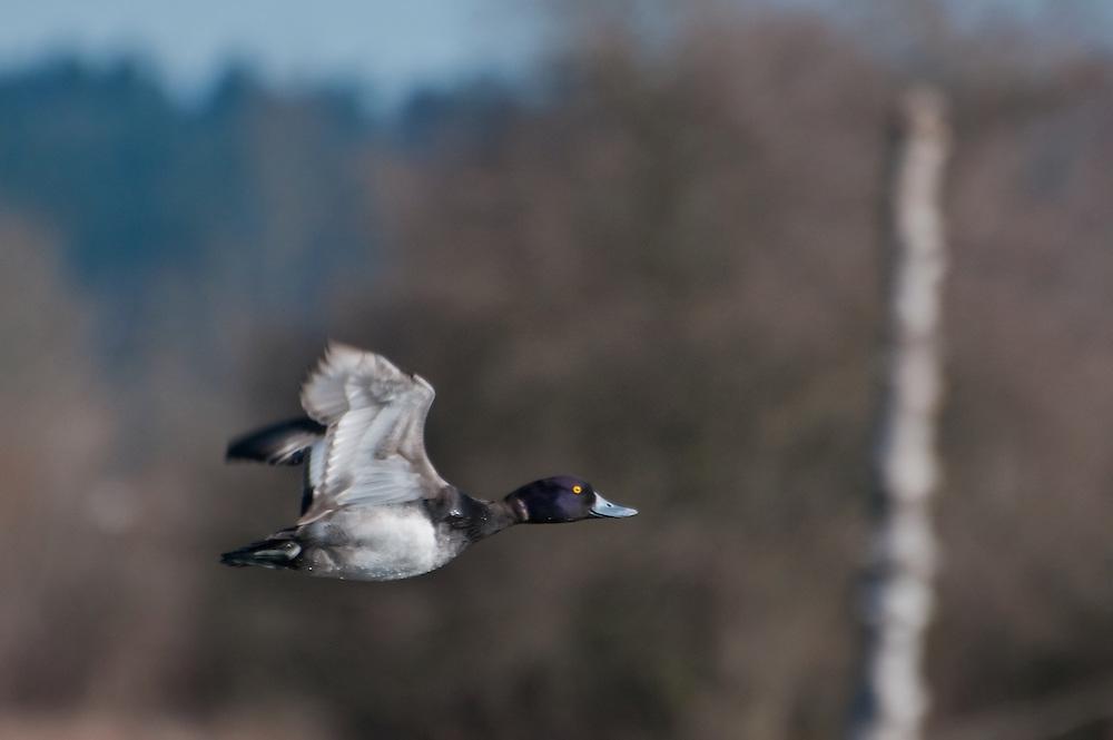 Greater Scaup (Aythya marila) in flight at Magnuson Park, Seattle, Washington.