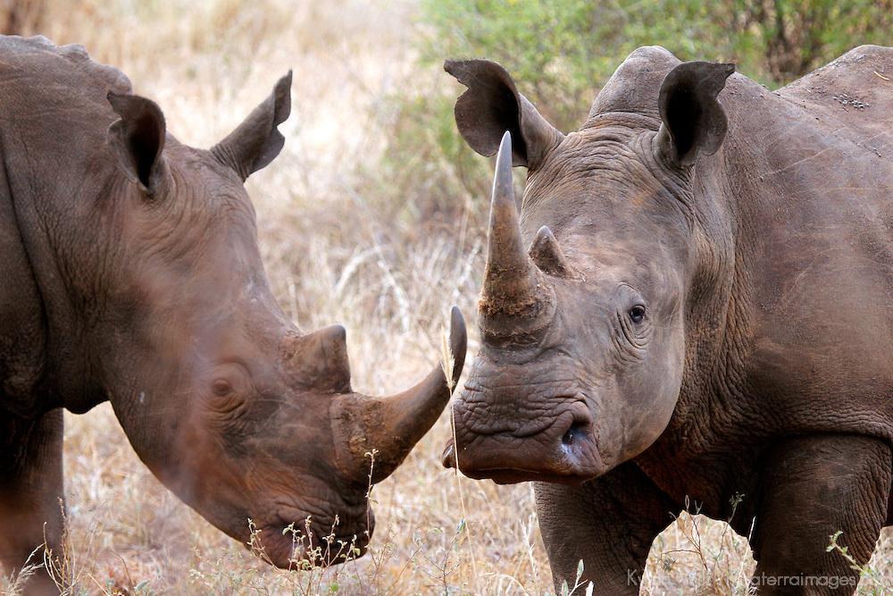Africa, Kenya, Meru. White Rhinos of Meru National Park Rhino Sanctuary.