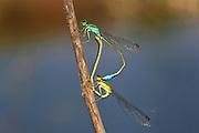 Mating Damselflies Zygoptera