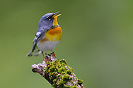 Northern Parula - Parula americana - male