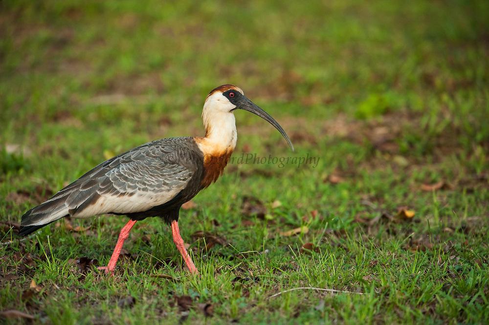 Buff-necked Ibis (Theristicus caudatus)<br /> Savannah<br /> Rupununi<br /> GUYANA. South America<br /> RANGE: Central America and South America as far south as northern Argentina.