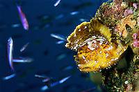 A leaf scorpionfish (Taenianotus triacanthus) lying in wait below a school of slender anthias.