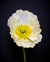 White Poppy. Composite of 100 focus stacked images taken with a Nikon D850 camera and 60 mm f/2.8 macro lens (ISO 64, 60 mm, f/4, 1/30 sec). Raw images processed with Capture One Pro and Helicon Focus.