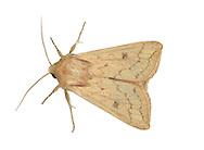 The Delicate - Mythimna vitellina