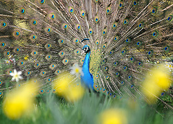 ©London News pictures. 25/03/11.  A peacock hides amongst the spring flowers before showing off its colourful tail display in the spring sunshine in Kew Gardens West London Today (Fri). Picture Credit should read Stephen Simpson/LNP