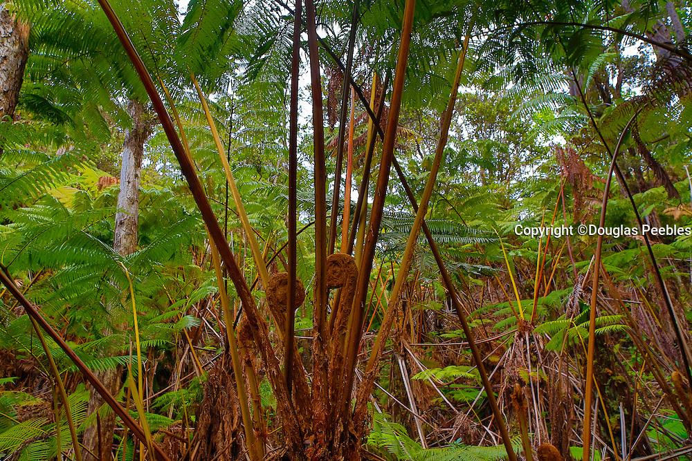 Rainforest, Hawaii Volcanoes National Park, Island of Hawaii