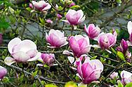 A Blooming Tulip Magnolia (Magnolia liliiflora) Tree in the Spring in a backyard garden.