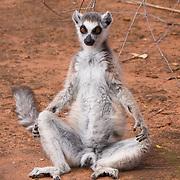 Ring-tailed lemur sunning itself. Berenty Reserve, Madagascar